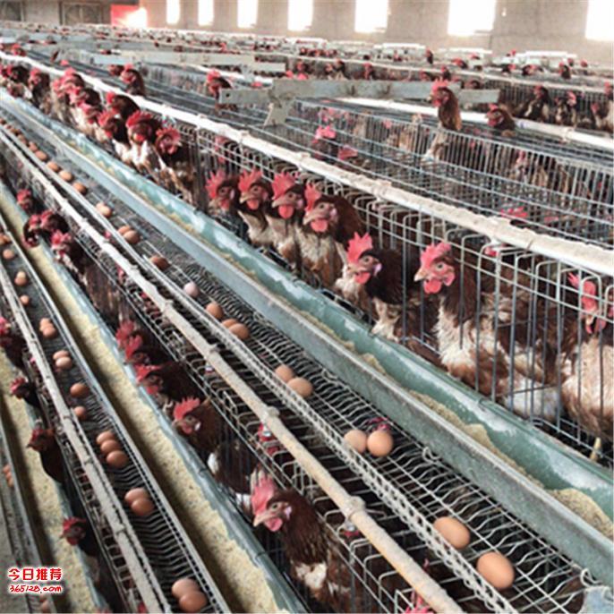 工厂自产自销优质便宜鸡笼子,蛋鸡笼,肉鸡笼