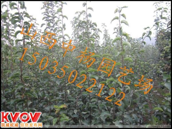杜梨种子,山梨种子,棠梨种子供应信息