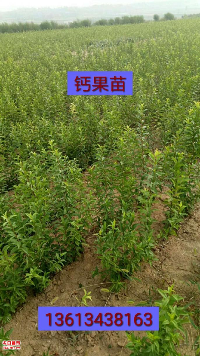 中華鈣果苗