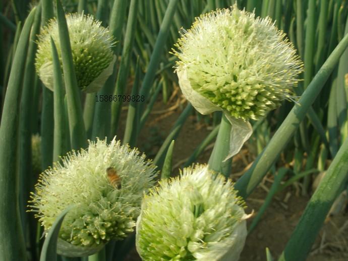 2018葱苗葱栽子葱种子大葱种子钢葱种子