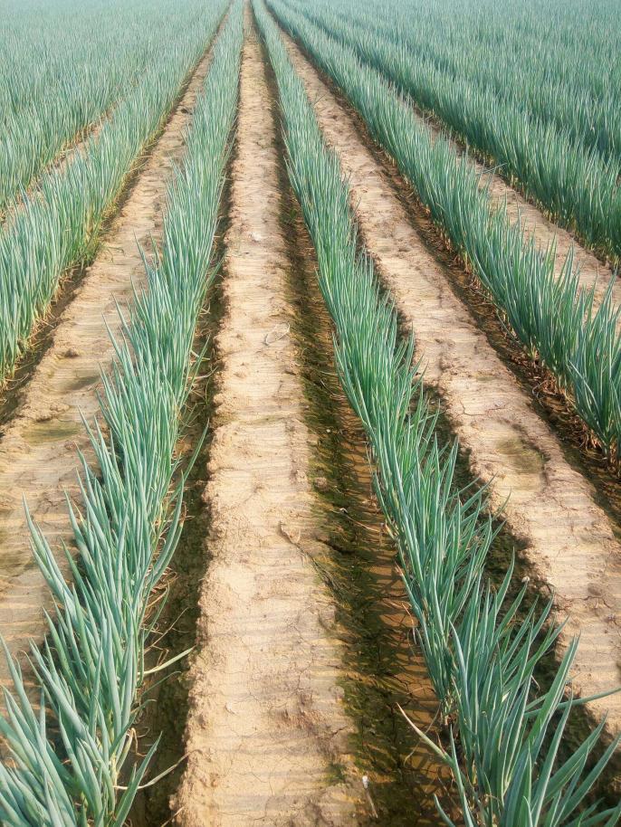 大蔥的種子品種簡單點說
