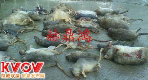 桂林学校灭鼠.宾馆灭鼠.商场灭鼠.食品厂灭鼠.灭鼠公司133936