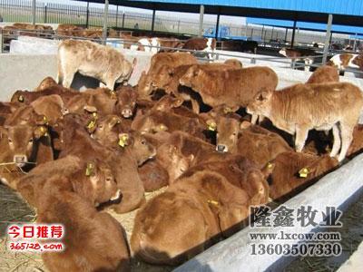 肉牛价格分析