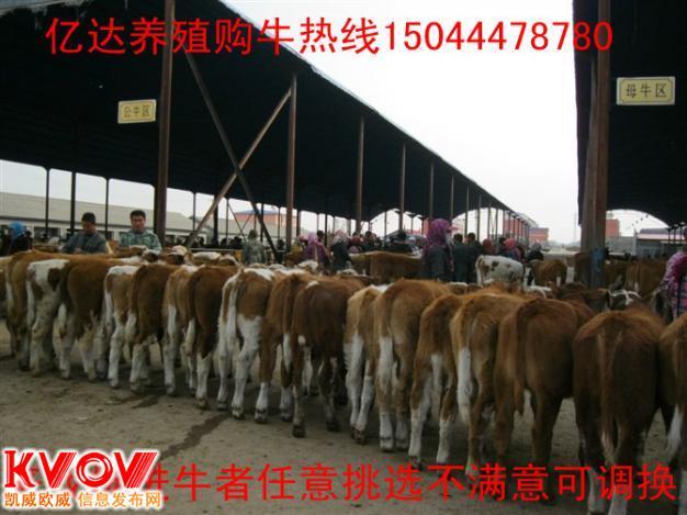 東北肉牛犢價格 東北肉牛犢養殖基地 吉林肉牛犢價格 吉林西門