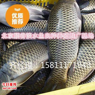 淡水魚出售天津市魚苗批發價格 草魚 鯉魚 鯽魚 魚苗品種報價
