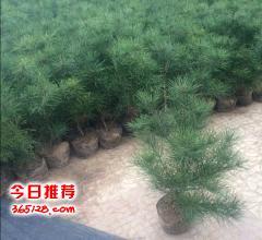 最新1米5白皮松价格1米5白皮松工程树1米5白皮松密植树1米5白