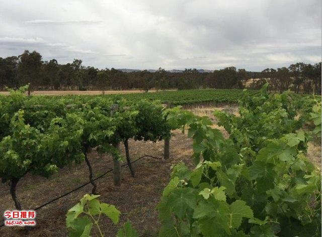 95英亩酒庄出售 - 维州著名红酒产地 (有6个群宿批文,可以