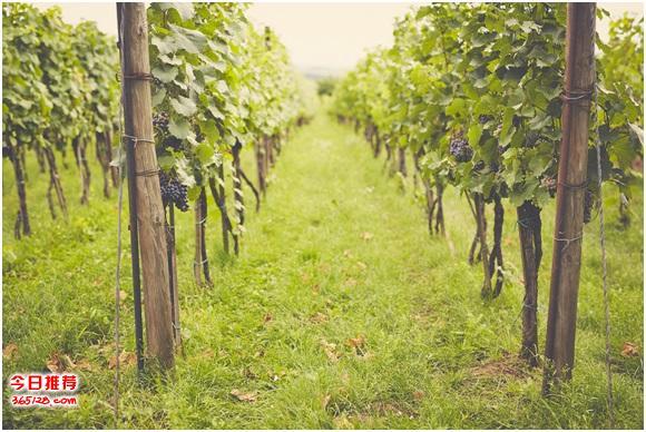 私售:墨尔本酒庄 + 养殖(牛) + 果园永久物业