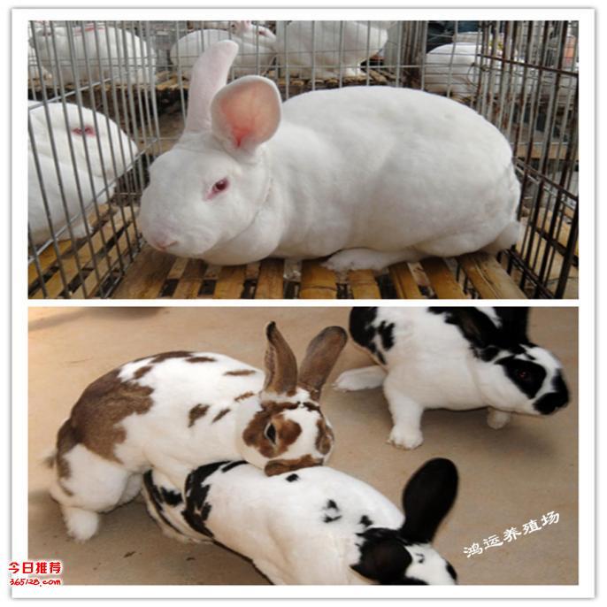 英国拉尔夫兔子价格 英国拉尔夫兔子90斤 英国拉尔夫兔子能长多大