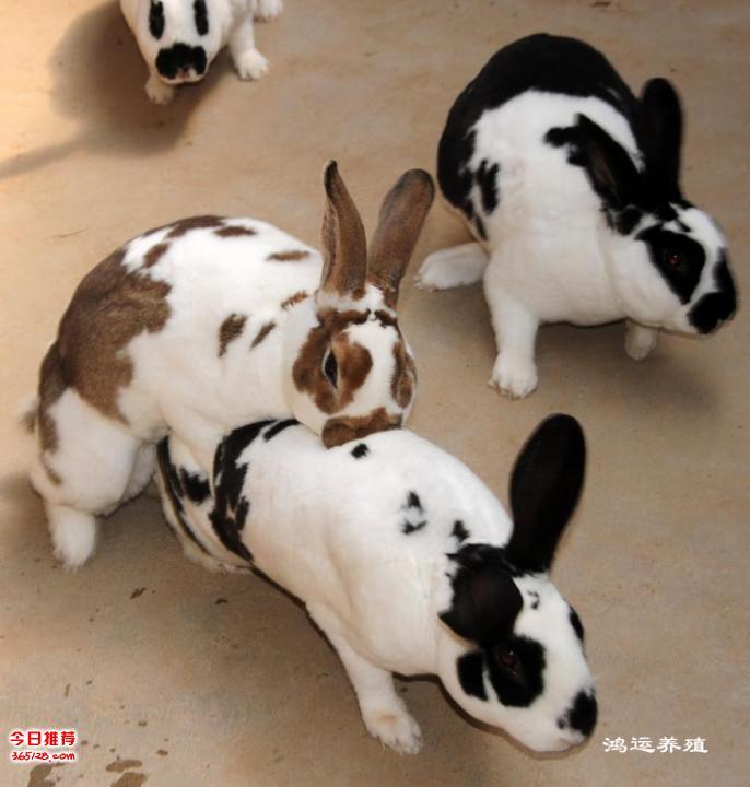 大流士兔子繁殖能力怎樣 大流士兔子苗圖片 大流士兔子是什么品種