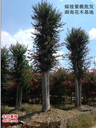 批发供应规格齐全的榆树苗木.浏阳造型榆树-基地直销
