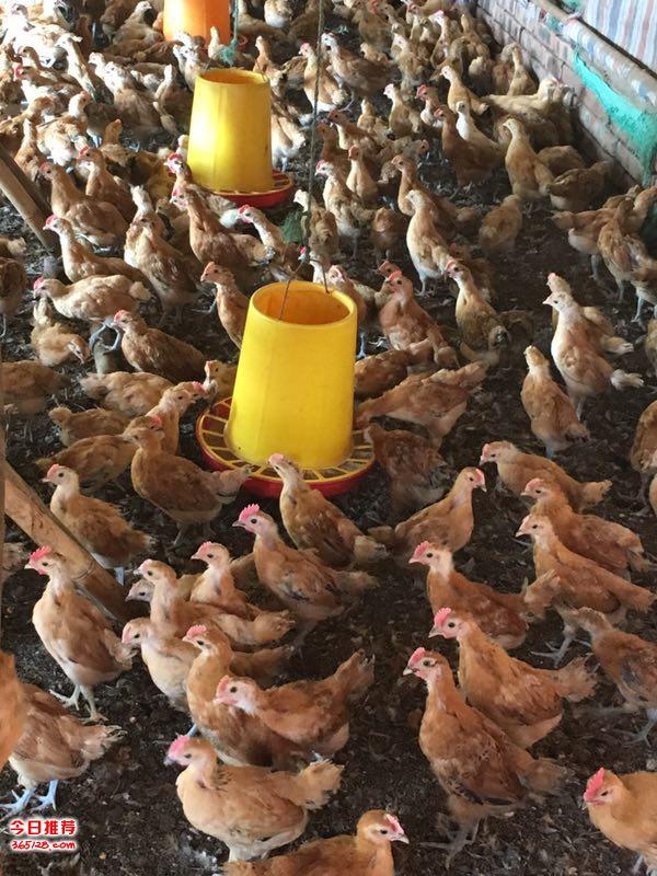 垫江本地土鸡苗批发,垫江脱温鸡苗销售;附近哪里有鸡苗?求