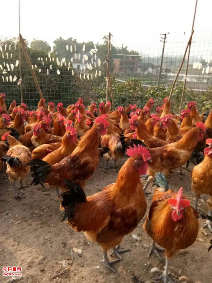 老婆被大鸡吧愹aiy.�_养殖土鸡的饲养注意事项土鸡苗多少一只&8203;扩展:土鸡养殖技术